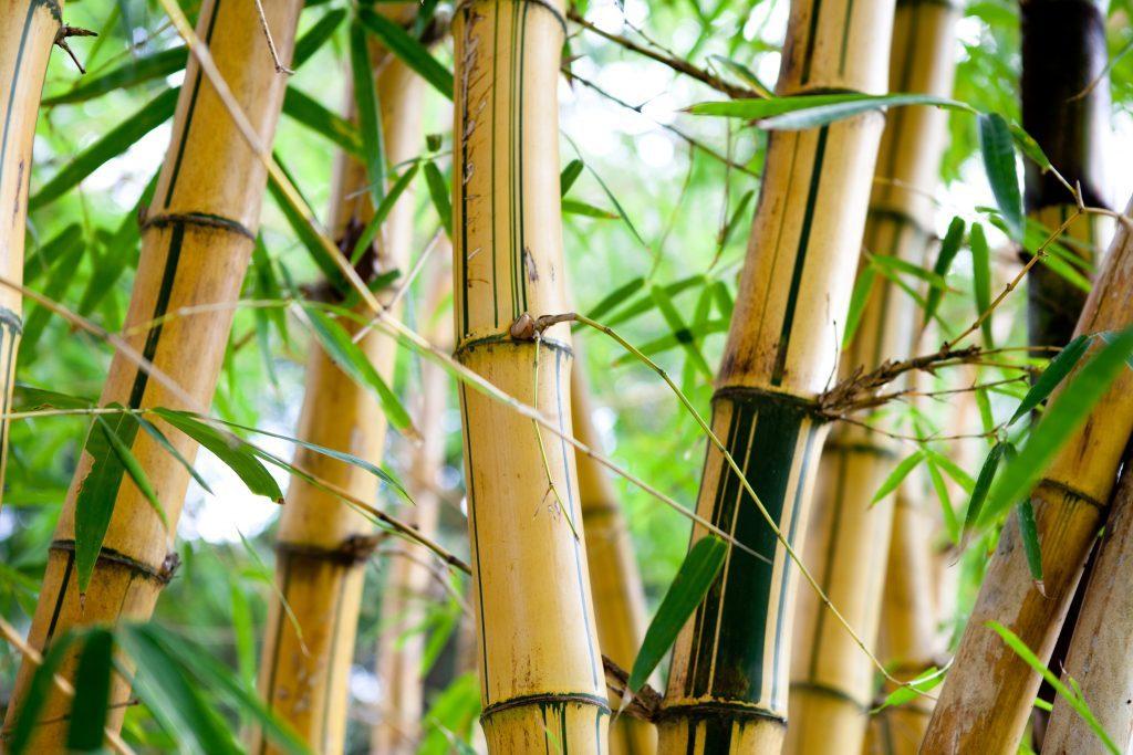 bambus budowlany